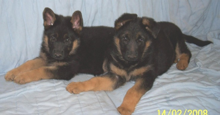 Rosebud Ugo pups females